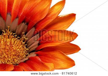 Single Flower Of Gazania. (splendens Genus Asteraceae).isolated