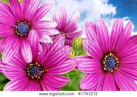 Flowers Of Gazania Against Blue Sky. (splendens Genus Asteraceae) .