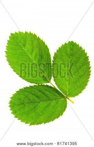 Three  Green Leaf Isolated On White Background .