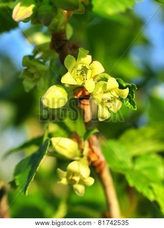 Little Flowers Of A Currant In Springtime