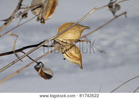 Milkweed Pod (Asclepias) Dried & Burst