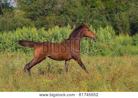 Running bay foal in summer  field