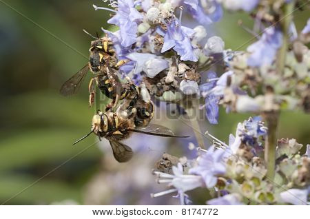 bee-like fly dipteron
