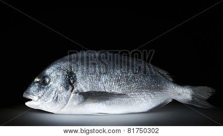 One Fish Dorado On Black Background