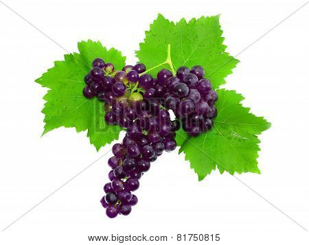 Branch Of Black Grapes . Isolated