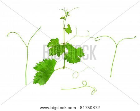 Grapes Green Leaf With Vine Tendril. Isoalted