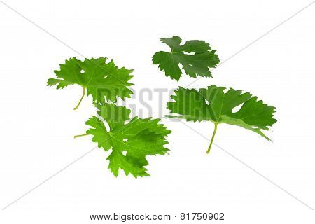 Grapes Green Leaf . Isoalted