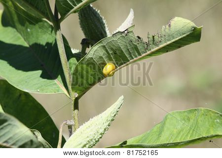 Milkweed Plant, Pods and Snails