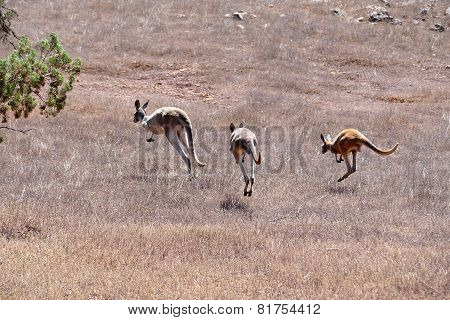Kangaroos On The Run