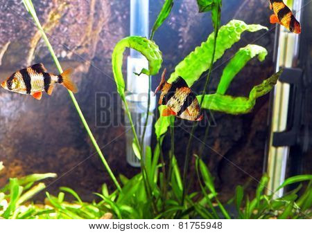 Shoal Of Aquarium Fish-barbus. (barbus Pentazona)