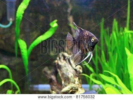 Aquarium Fish-  Black Scalare
