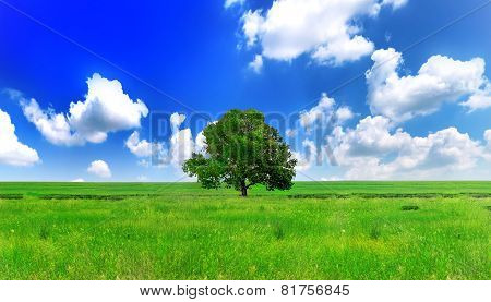 Alone One Big Tree On Green Field . Panorama