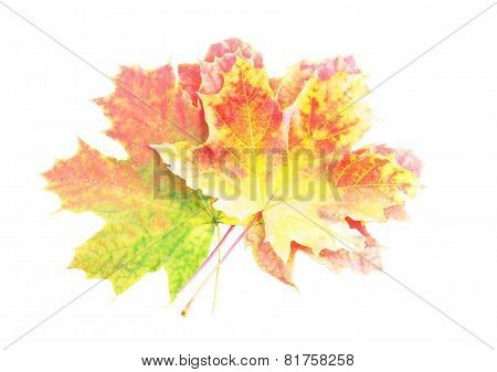 Heap Of Perfect Autumn Leaf Over White. Isolated
