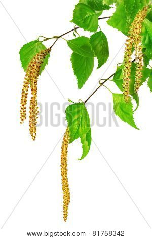 Birch Catkins Isolated On White Background.