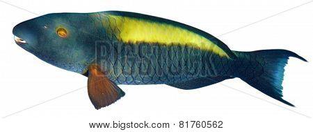 Parrotfish  Isolated On White Background.