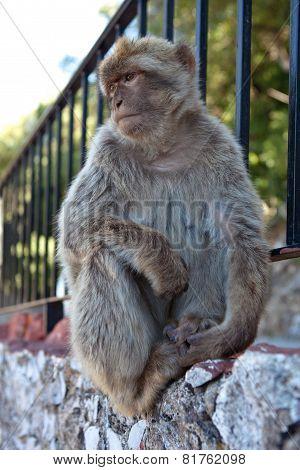 Free Monkey on the Rock of Gibraltar. Gibraltar.