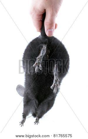 Black Ebonite Chinchilla On White Background.