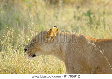 Lioness Walking In The Grassland