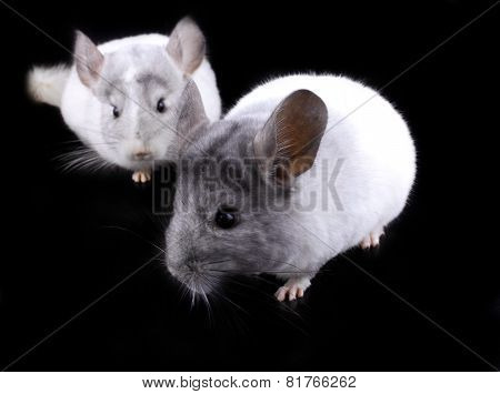 Couple Of White Ebonite Chinchilla On Black