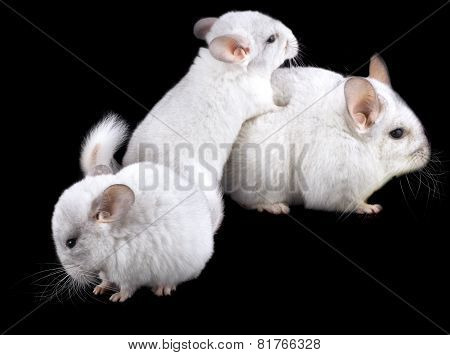 Family  Of White Ebonite Chinchilla On Black