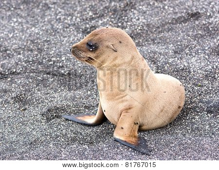 A Baby Galapagos Sea Lion