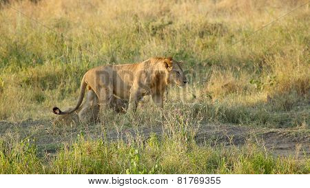 Young Male Lion Walking