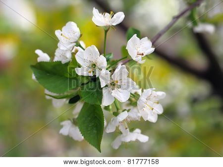 Blossoming Of  Cherry Plum Close Up.