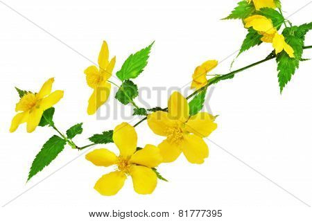 Kerria  Japonica   Yellow Wildflowers Isolated On White Background .