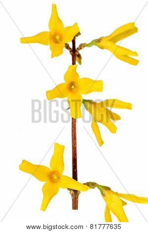 Forsythia flowers.