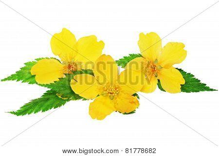 Marsh Marigold  Yellow Wildflowers Isolated On White Background .