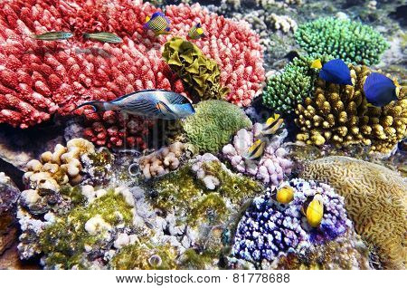 Coral And Fish In The Red Sea.fish Couples.egypt