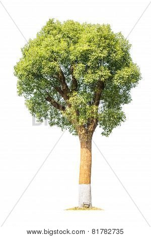 Camphor Tree Isolated
