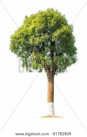 Green Camphor Tree
