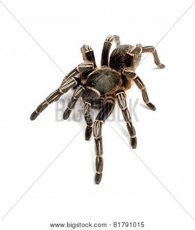 Zebra Tarantula On White Background.