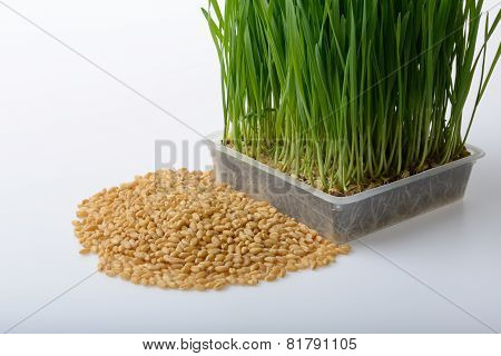 wheat grass and wheat grains on white background