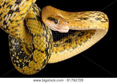 Taiwan Beauty Snake.