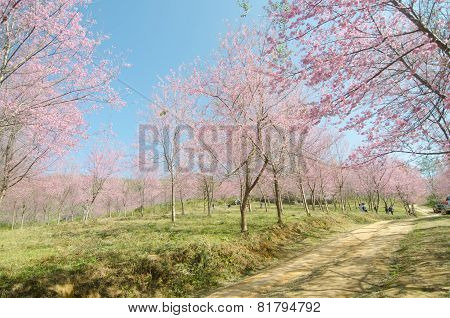 Loei Thailand - January 17 : Tourists Happy With Your Visit Wild Himalayan Cherry Blossom At Phu Lom