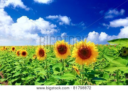 Beautiful Sunflowers In The Field.