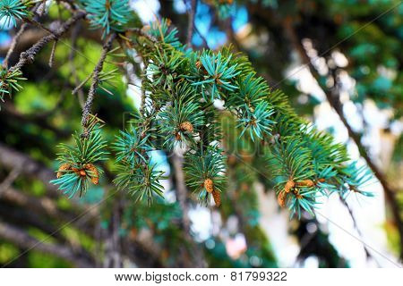 Pine branch with cone.