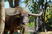 picture of terrestrial animal  - Terrestrial Animal Thailand water buffalo looking at camera close up - JPG