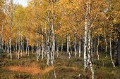 picture of birching  - Autumn birch grove - JPG
