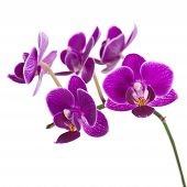 picture of purple white  - Blooming twig of purple orchid phalaenopsis isolated on white background - JPG