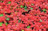 stock photo of poinsettias  - Image Of Bright red Poinsettia christmas flower - JPG