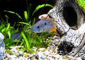 picture of dwarf  - Aquarium Fish dwarf Cichlid in a water - JPG