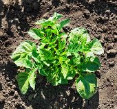 pic of potato-field  - Young potato bush on the ground in a field - JPG