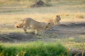 stock photo of leo  - A pride of young male lions Panthera Leo resting at the shadow of a tree in Serengeti National Park Tanzania - JPG