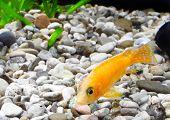 pic of dwarf  - Aquarium Fish dwarf Cichlid - JPG