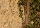 pic of creeping  - the wild ivy creeping in the rock - JPG