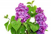stock photo of lilac bush  - Beautiful Lilac in the Vase - JPG