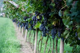 pic of grape  - Red Wine Grapes on a vine vines on Lake Garda in Italy - JPG